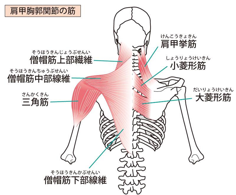 肩の筋肉のイラスト